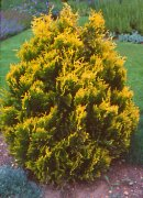 Propagate conifer from cuttings, buy conifer