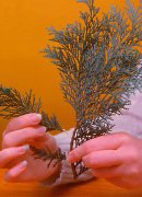 remove conifer sideshoot, conifers for sale